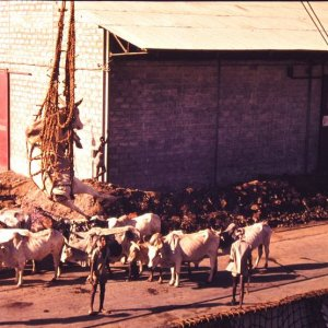 Assab - Loading Cattle